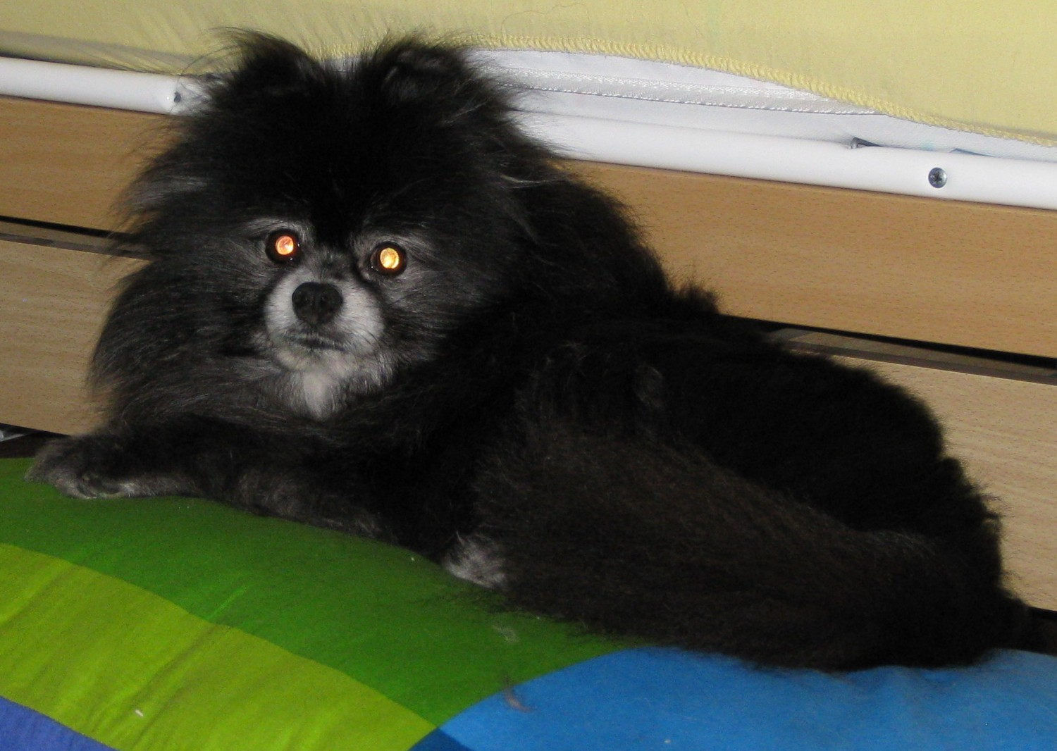 Crystal, Erika's Pomeranian, relaxing on a stolen pillow - Manchester Veterinary Clinic - CT